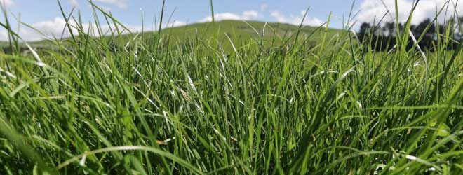 Proven, productive and persistent ryegrass