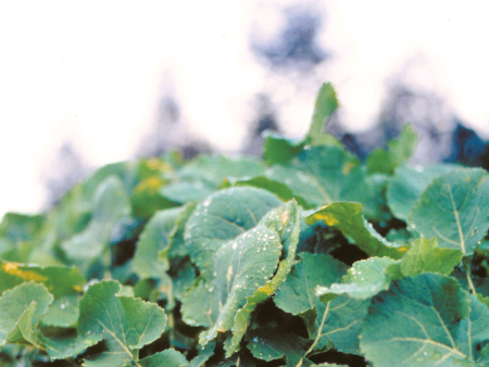 Brassica nitrogen best before Christmas