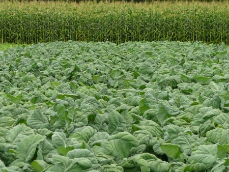 Brassica weed control - timing is everything