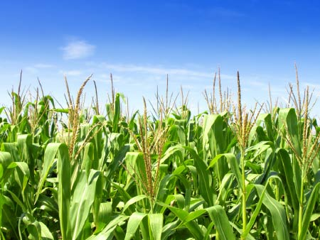 Using nitrogen to best effect in spring-sown crops
