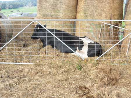 Prioritise treatment of down cows for a better outcome