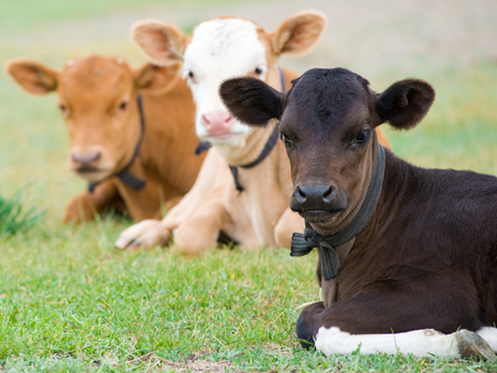 Make calf rearing easy with StockMate