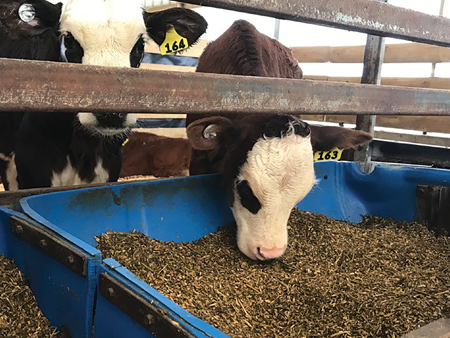 Preparing your calf for lifetime production